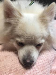 犬,可愛い,japan,老犬,チワワ+ポメラニアンのミックス犬,シナちゃん