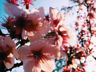 空,花,桜,卒業式