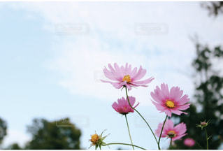 公園,花,秋,花畑,コスモス