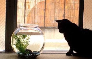猫,夏,カップル,仲良し,金魚,ツーショット