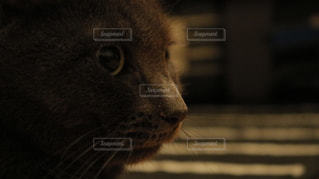 猫,風景,動物,屋内,エメラルド,ペット,子猫,人物,横顔,模様,目,灰色,見つめる,クール,カーペット,ロシアンブルー,物思い,キティ,ネコ,縞々,顔ドアップ,黒と白