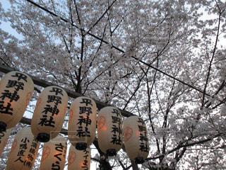 春,桜,屋外,京都,ピンク,神社,観光,樹木,お寺,寺院,通り,平野神社