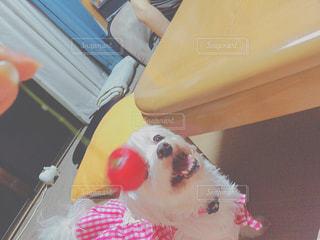 犬,夏,リビング,さくらんぼ,ペット,わんこ,食後