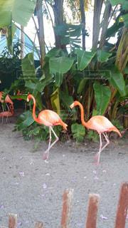 フラミンゴ,フロリダ,ツーショット,トリ,足並み