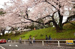 男性,風景,花,春,桜,自転車,東京,人,サイクリング