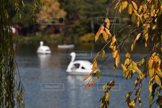 風景,公園,東京,池,スワンボート,のんびり,洗足池,洗足池公園