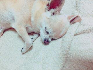 犬,チワワ,かわいい,ペット,寝顔,お昼寝