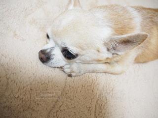 茶色と白犬の写真・画像素材[986442]