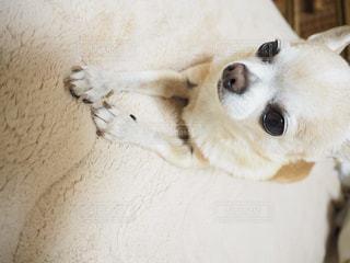 地面に横たわっている茶色と白犬の写真・画像素材[986443]