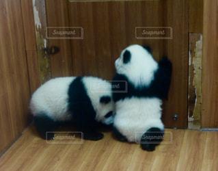 木製の床の上に横たわるパンダ - No.725657