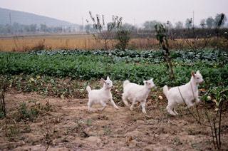 汚れフィールドに羊のグループ - No.730996