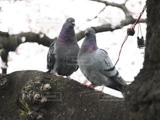 枝に鳩の立っています。 - No.732786