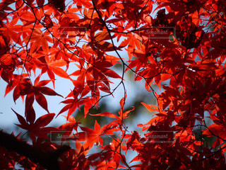 近くにオレンジの木のアップの写真・画像素材[892242]