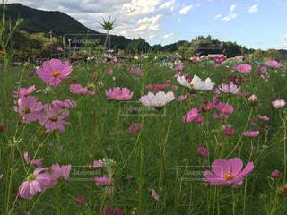ピンクの花は草の中に立っています。の写真・画像素材[892465]