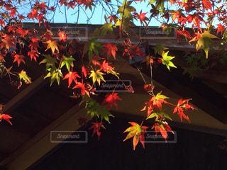 カラフルな紅葉🍁の写真・画像素材[894155]