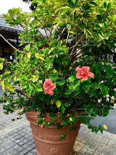 ハイビスカス,沖縄,植木鉢,旅行