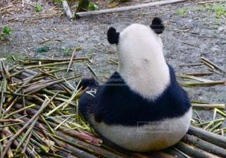 草の中に座っているパンダの写真・画像素材[915186]