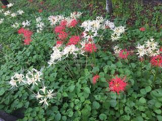 庭の赤い花の写真・画像素材[915209]