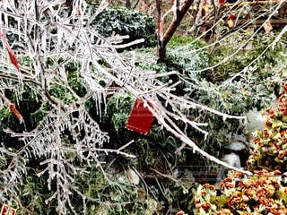 凍った枝がキラキラの写真・画像素材[922106]