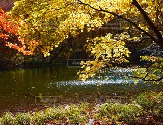 池の真ん中の木の写真・画像素材[922141]