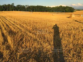 乾いた草のフィールドに伸びる長い影の写真・画像素材[966318]