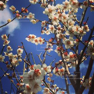梅の木の下から空を見上げるの写真・画像素材[1097583]
