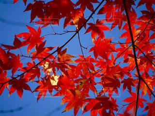 青空に映える紅葉の写真・画像素材[1109340]