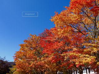 青空に映える紅葉🍁の写真・画像素材[1109353]