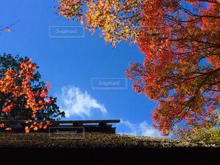 京都の紅葉の写真・画像素材[1109380]
