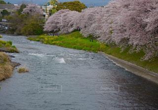 潤井川の河岸桜🌸並木の写真・画像素材[1140528]