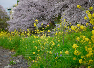 桜🌸並木と菜の花の写真・画像素材[1140529]