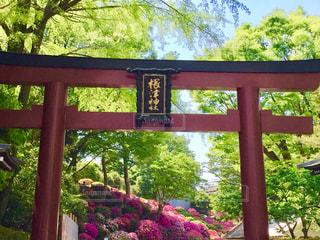 根津神社のつつじ祭りの写真・画像素材[1145136]