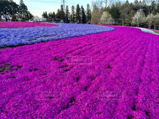 紫色の花のフィールドのグループの写真・画像素材[1148245]