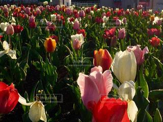 テーブルの上に花瓶の赤い花の写真・画像素材[1148247]