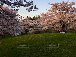 夕陽の桜の花、秩父羊山公園で。2017年4月撮影の写真・画像素材[1148411]