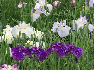 近くに紫の花のアップの写真・画像素材[1151624]