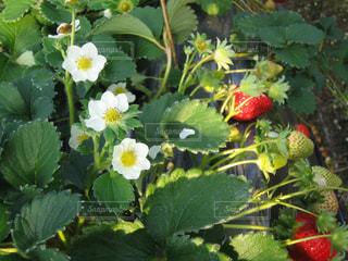 緑の葉と赤い花の写真・画像素材[1151626]