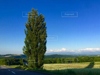 ケンとメリーの木の写真・画像素材[1215840]