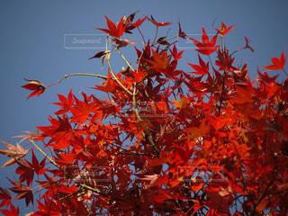 秋,紅葉,赤,青空,もみじ,日光,鮮やか,秋空,カエデ,秋色
