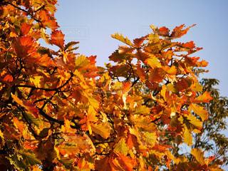 秋,紅葉,青空,もみじ,日光,鮮やか,秋空,カエデ,秋色