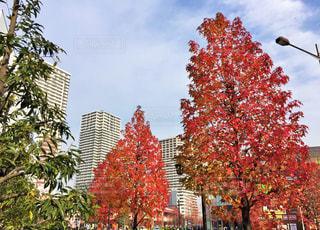 秋,紅葉,青空,もみじ,鮮やか,街路樹,秋空,南千住
