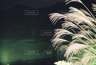 夜のススキの写真・画像素材[1517861]