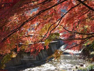 川にかかる紅葉の写真・画像素材[1625172]
