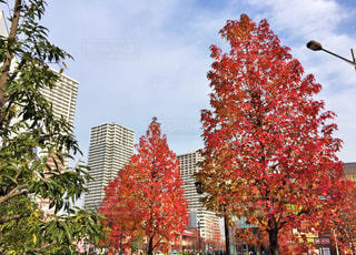 赤い葉の木の写真・画像素材[1625210]