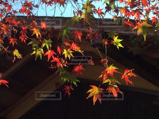 陽光を受けてカラフルな紅葉🍁の写真・画像素材[1625221]