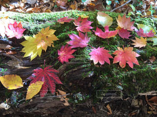 木漏れ日の森の中で緑に映えるもみじの葉🍁の写真・画像素材[1626489]