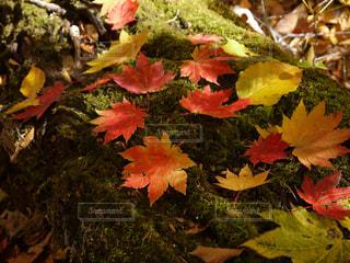 緑のじゅうたんに映えるもみじの葉の写真・画像素材[1626499]