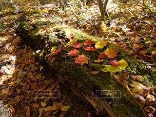 木漏れ日の森の緑に映えるもみじの葉🍁の写真・画像素材[1626506]