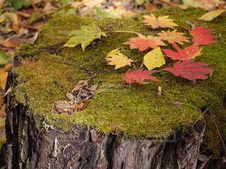 切り株に生えた苔の上にカラフルな紅葉🍁の写真・画像素材[1626873]