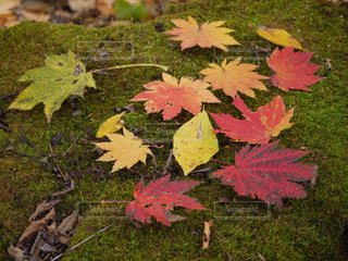 カラフルな紅葉🍁がのる緑の苔のじゅうたんの写真・画像素材[1626874]